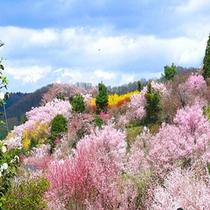 地元でも有名な花見山公園。大正15年 養蚕農家の副業として、畑に花を植えたのが始まりでした。