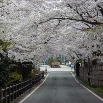 桜坂 例年4月下旬頃から見ごろとなります。