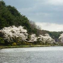 鏡が池のほとりの桜です。