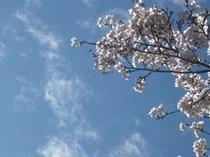 桜と空見頃は4月20日くらいまででしょう