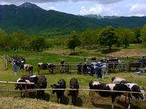 笹ヶ峰の牛の放牧