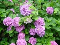 あらかわ荘 玄関の紫陽花(赤)
