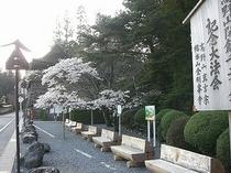 金剛峯寺前の桜