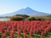 河口湖コキアの紅葉