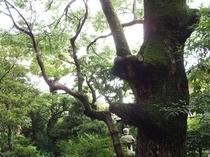 樹齢150年楠(日本庭園)