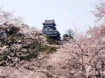 ホテル庭園より 「桜景色の犬山城」