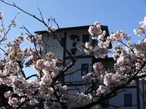桜と松乃井