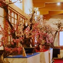 ☆大和郡山 盆梅展☆「盆梅」約120鉢をご覧いただけます