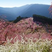 4/22に満開を迎えたとされる☆東吉野村の高見の郷(たかみのさと)のしだれ桜☆