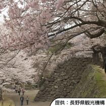 【小諸城址懐古園の桜】4月中旬~4月下旬(見頃の目安)/ホテルから車約40分(高速道路+一般道)