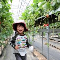 【いちご狩り】早春の南紀でおいしいイチゴを食べ放題♪♪(農園紀の国にて体験イメージ)