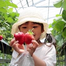 【いちご狩り】大切に育てられたおっきなイチゴ♪♪もぎってそのまま♪♪(農園紀の国にて体験イメージ)