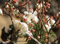 【冬慧洲園】慧州園の梅