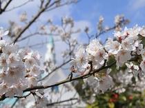 【春チャペル】チャペルと桜