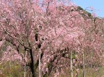 【春慧洲園】慧州園の桜