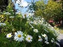 庭のはま菊が満開です。