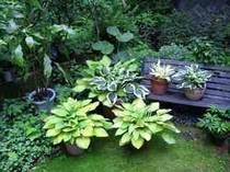 ガーデンのギボウシ達