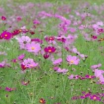 【秋】ホテルの庭一面のコスモス畑は秋の一押し!