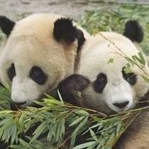 ★かわいいパンダ♪