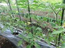 自家菜園(トマトの花)