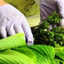 【山菜】収穫した山菜を下処理しています。