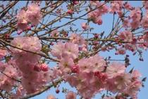 ボタン桜(例年4月上旬〜中旬が見頃となります)
