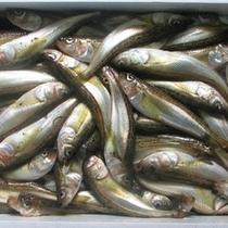 旬の魚 (はたはた)
