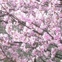 おおかん桜:伊豆高原駅周辺 車で5分