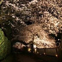 松川灯りの小径・夜桜ライトアップ