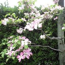 【館内】花水木がきれいに咲いています