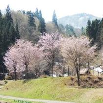 *桜/毎年GW前後が桜の見頃となります。