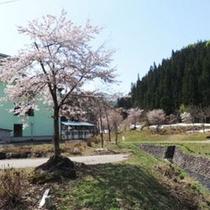 *桜/一足遅い東北の春をご満喫下さい。