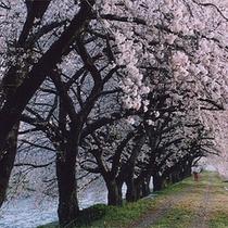 桜のトンネル「船川の川辺」