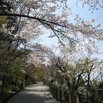 桜の散歩道…城山遊歩道は当館からすぐ!