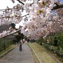 館山城 さくら