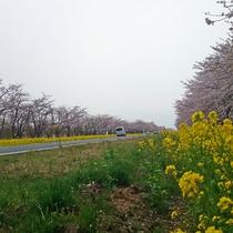 大潟村-菜の花ロード01
