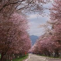 優駿ロードの桜 画像提供「浦河町」