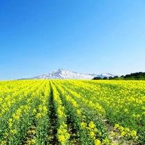 *【鳥海高原】菜の花の向こうに浮かぶ鳥海山の姿は絶景です!