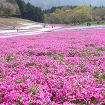 羊山公園の芝桜(4月下旬〜5月上旬)お車で約50分