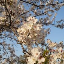 桜(4月中旬〜4月下旬)秩父エリア各所