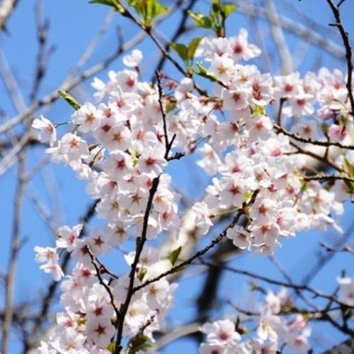 春の陽気がまちどおしい(桜)
