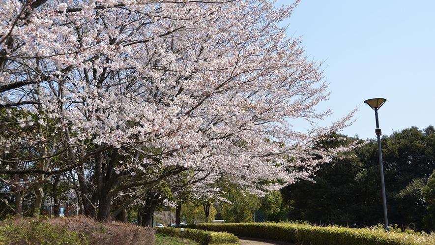 【当宿の景観】当宿敷地内の遊歩道(桜)