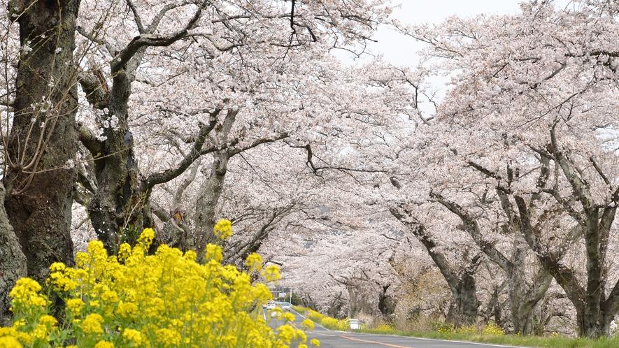 【近隣観光地】早乙女桜並木