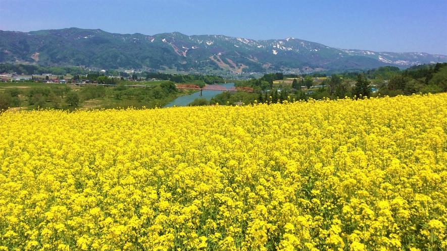 見頃の菜の花と千曲川
