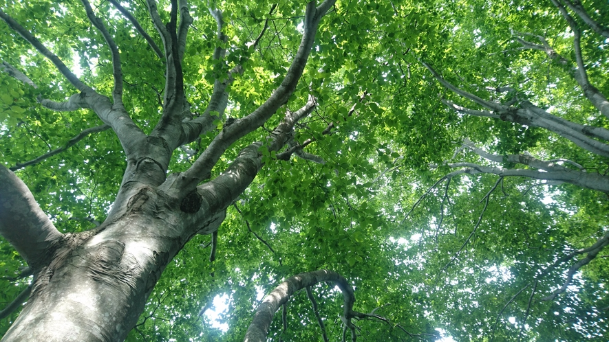 斑尾高原を囲むブナ林