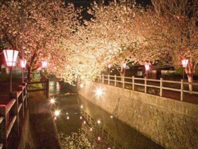 中野川八重桜ライトアップ