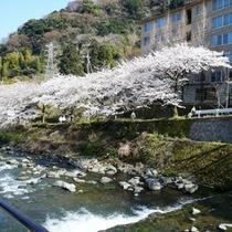 千歳川」沿いの桜