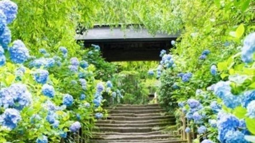 鎌倉アジサイ