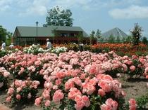 いわみざわ公園バラ園 岩見沢市の花であるバラとハマナスが緑豊かな公園の中にうえられています。