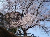 橘神社の桜